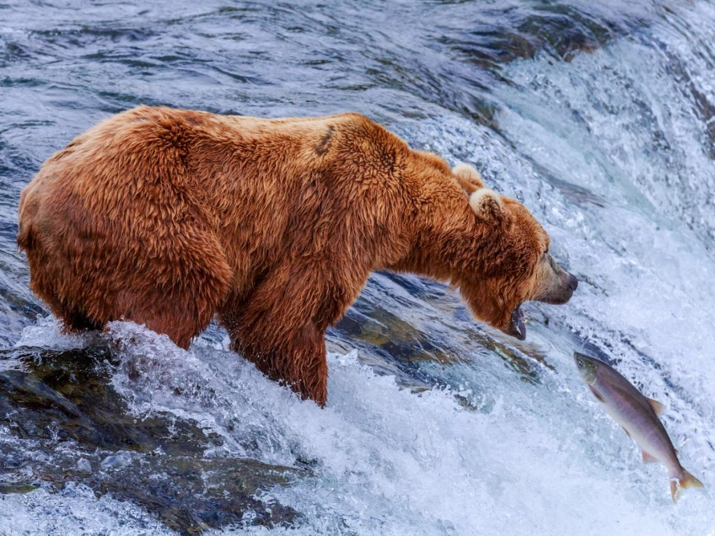 brown-bears-catch-fish-in-the-brooks-river